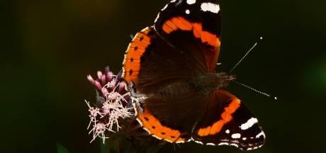 De atalantavlinder leeft als een trekvogel in Oost-Nederland