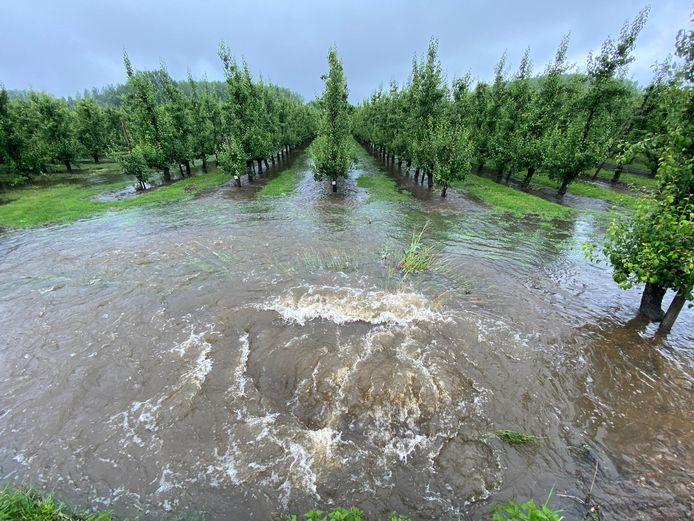 Wateroverlast in Sint-Truiden. Fruitbomen onder water.