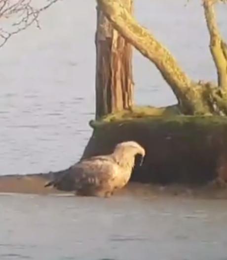 Weer kleine zeearendjes in de Biesbosch?