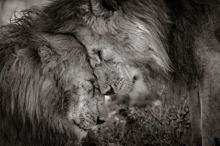 Deze twee volwassen mannetjesleeuwen, waarschijnlijk broers, begroeten elkaar met een 30 seconden durende knuffel.  Beeld David Lloyd