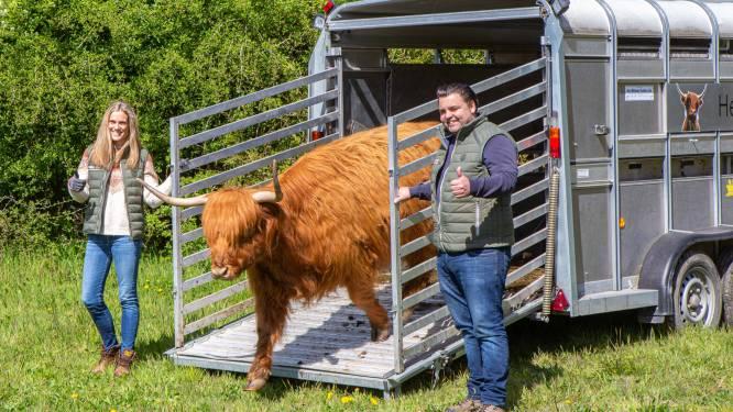 Natuur en Bos zet Schotse hooglanders in om op spoorwegberm te grazen in Dilbeek