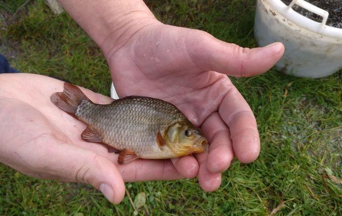 """De kroeskarper wordt ook wel eens """"de wilde neef van de goudvis' genoemd."""