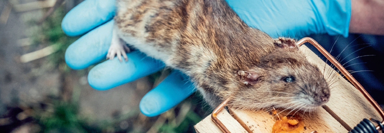 'Het aantal ratten zal ook in Vlaanderen toenemen, en we zullen er nog meer problemen mee krijgen. Dat staat vast'   Beeld