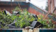Cannabisplantage met 100 planten ontmanteld in Lokeren