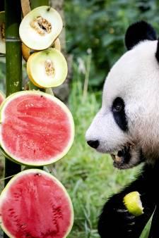 Luchtig nieuws in de coronacrisis: Ouwehands Dierenpark Rhenen lanceert 'Pandajournaal'