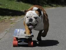 Geen muilkorf, want bijtende Bemmelse bulldog is niet 'gevaarlijk' maar 'hinderlijk'