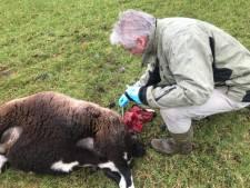 Gebeten schapen taxeren in Venhorst: 'Een wond van 4,5 cm? Dan is het bijna zeker een wolf'