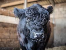 Tussen takken en een blikje Heineken staken twee neusgaten: het was koe Leonarda 12