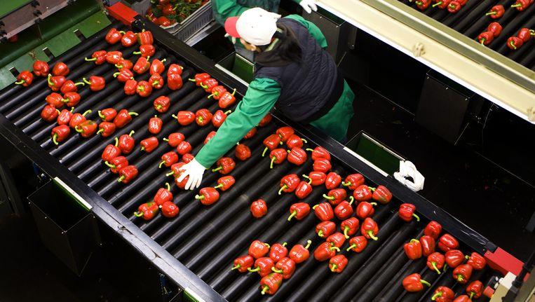 De Europese Unie wijzigt haar noodsteun aan tuinders die gedupeerd zijn door het Russische handelsembargo. Beeld anp