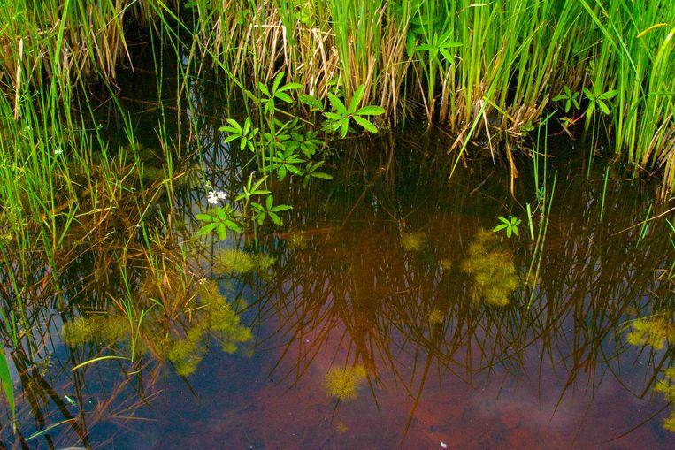 Foto van rond de eeuwwisseling, toen in een slootje in natuurgebied de Bruuk, in het roestige water nog waterviolieren groeiden. Beeld Flip Witte