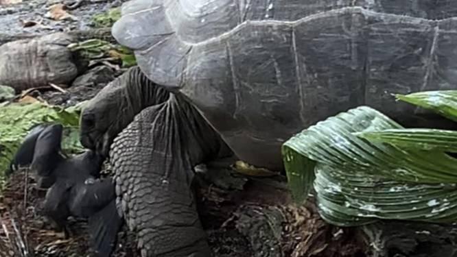 Une tortue traque et croque un oisillon