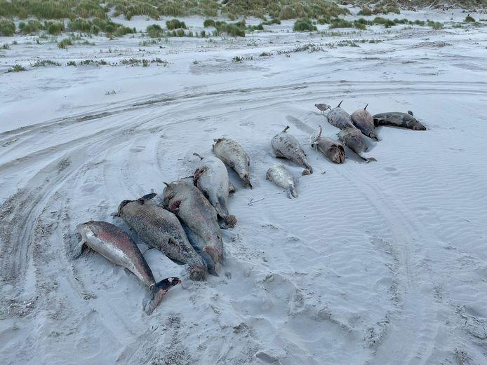Het is nog een mysterie waarom er plots zoveel dode bruinvissen op onder andere Ameland aanspoelden.
