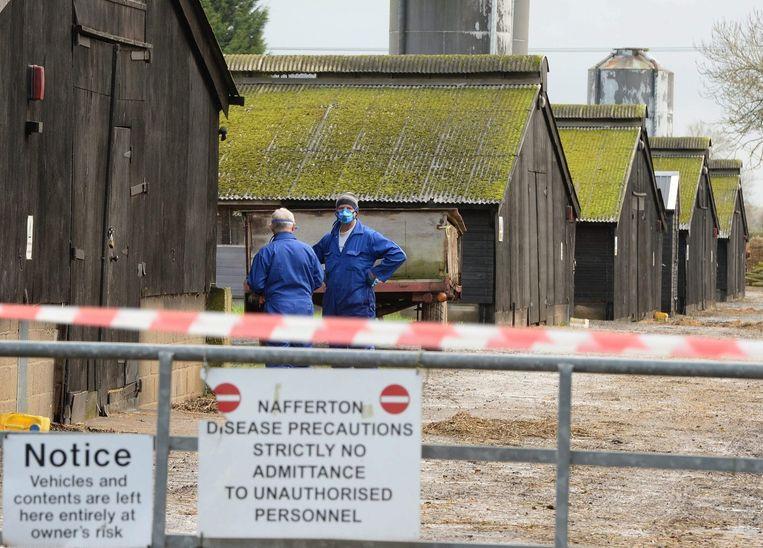 Niet alleen in Nederland, maar ook in het Verenigd Koninkrijk is vogelgriep ontdekt. Op een boerderij in het oosten van Yorkshire waar eenden worden gefokt, is het virus zondag aangetroffen. Beeld epa