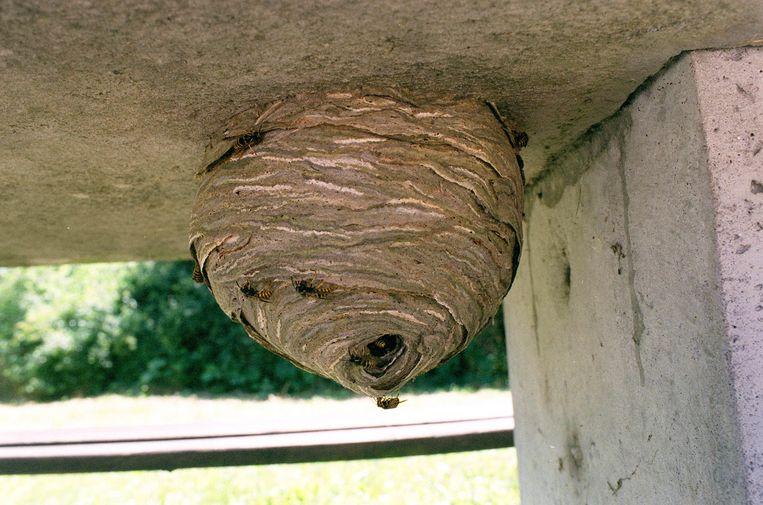 Een wespennest. Beeld Bart Leye