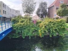 Binnen enkele uren weggesnoeid: gemeente Den Haag komt direct in actie voor 'geëxplodeerde' duizendknoop