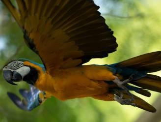 Laatste wilde ara-papegaai in Rio op zoek naar romance in zoo