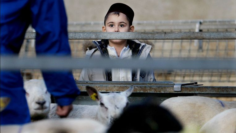 Een jongetje heeft tijdens het offerfeest samen met zijn vader een schaap uitgezocht bij een slager in Dodewaard. © anp Beeld