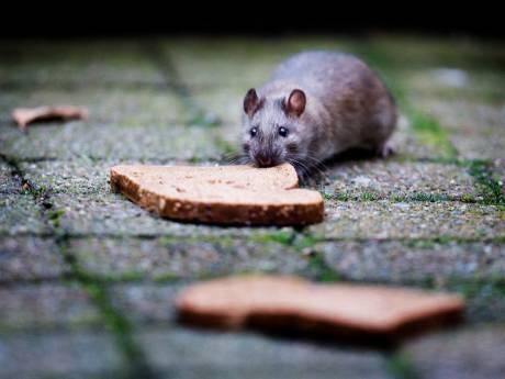 Gorinchem hoort zelden klachten over ratten, oproep om ze toch te melden