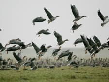 Honderden dode vogels door vogelgriep langs Groningse kust