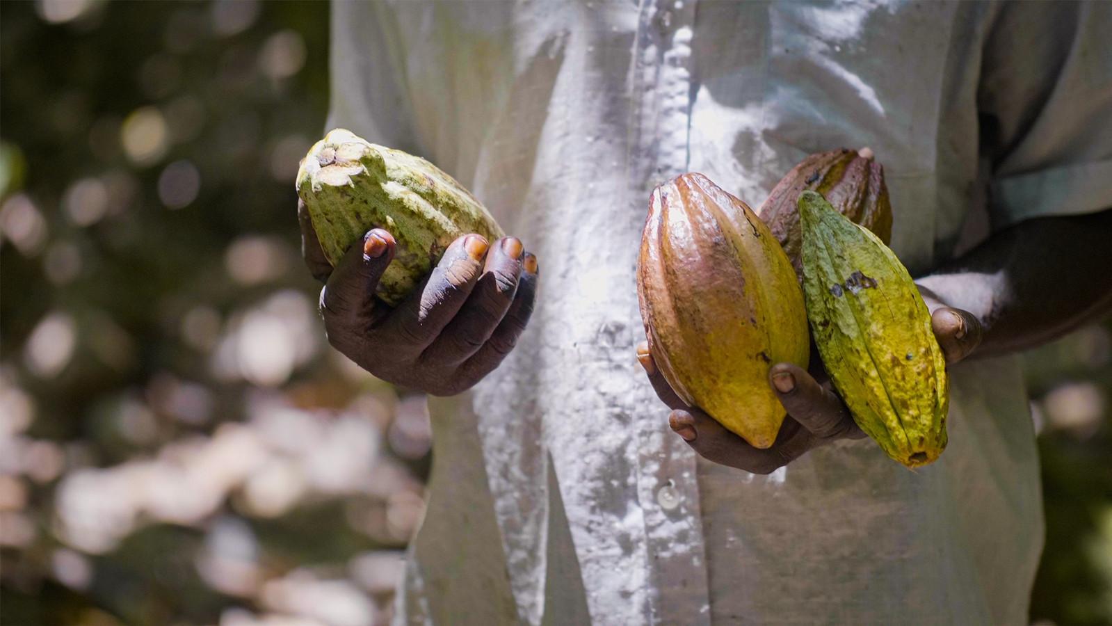 Non seulement les cacaoyers sont bénéfiques pour l'environnement, mais en plus ils permettent de faire vivre les communautés locales où ils sont plantés.