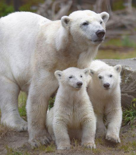 Groot verlies: ijsbeerjong in Ouwehands Dierenpark overleden