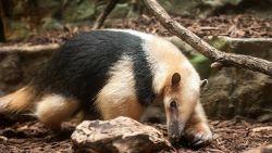 """Oudste miereneter ter wereld, Chico (25), overleden in Antwerpse zoo: """"Een prachtdier, maar zo onhandig met de vrouwtjes"""""""