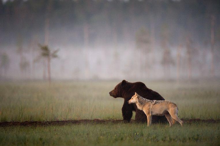 Vriendschap tussen een beer en wolf. Beeld Lassi Rautiainen
