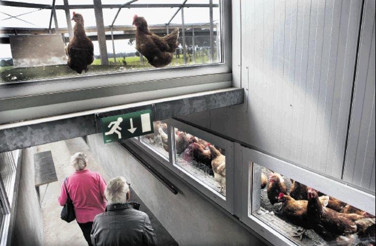 Vanuit een tunnel zijn de kippen te bekijken. (FOTO MAARTEN HARTMAN) Beeld Maarten Hartman