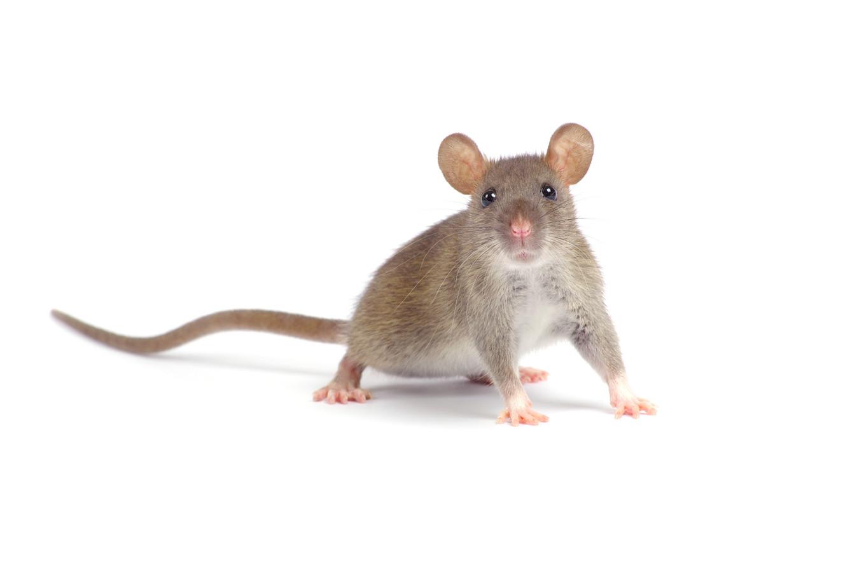 Het aantal meldingen van rattenoverlast in Dordrecht is vorig jaar verdubbeld.