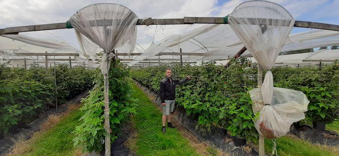 Fruitkweker Maarten van Hoof uit Olland bij zijn fruit onder de 'ouderwetse' folie.
