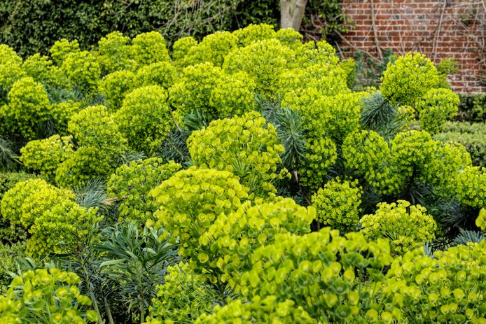 Euphorbia characias.