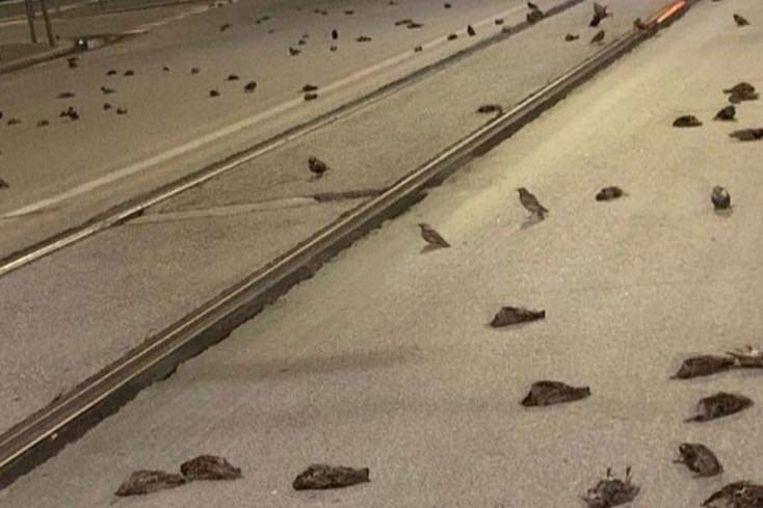 Tientallen dode spreeuwen liggen op straat in Rome. Beeld OIPA International/Twitter