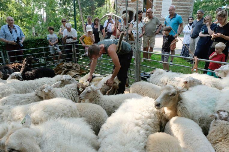 De schapen werden geschoren in de schaduw van het Spuihuisje.