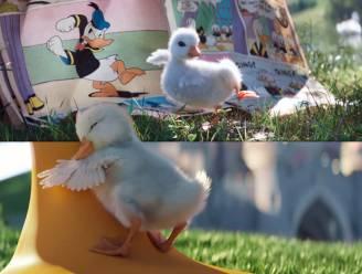Gloednieuw filmpje Disneyland is wel héél schattig: baby-eendje wil Donald Duck zijn