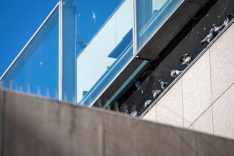 In Heerlen heeft men al jaren last van duiven in de binnenstad, het voorstel is nu om de duiven te voeren met anticonceptiemiddelen waardoor eieren niet uitkomen. Beeld Laurens Eggen