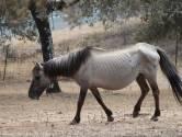 Staatsbosbeheer wil opheldering van Spaanse eigenaar van de Konikpaarden
