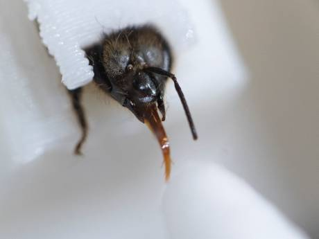 Deze honingbij steekt zijn tong uit wanneer je positief test; insect is getraind om corona te herkennen