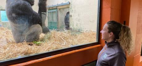 Bijzonder gorillajong leidt tot opluchting en blijdschap in Apeldoornse Apenheul: 'Deze was erg welkom'