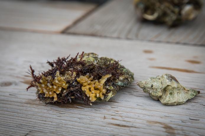 Oesterboorder (rechts) en links op de schelp het gele zaad van een Japanse oesterboorder.