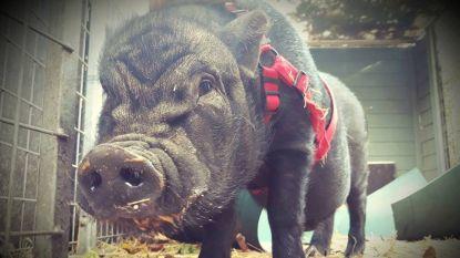 Vindt hangbuikzwijntje Billy nieuwe thuis voor Kerstmis?