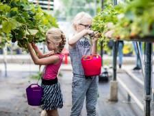 Iedereen kan plukken bij Plukkerij Framblij: 'De groei van fruit blijft kinderen verbazen'