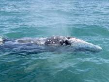 La baleine grise égarée en Méditerranée réapparait en piteux état à Majorque