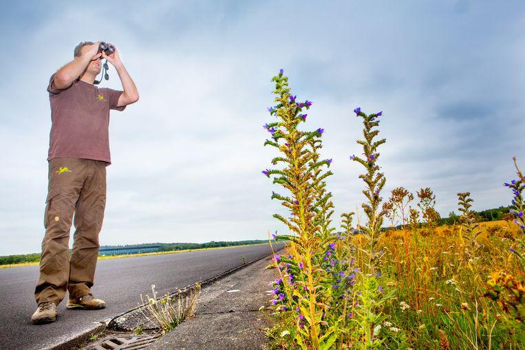 Boswachter Martijn Bergen, op de grote landingsbaan van de voormalige vliegbasis Soesterberg, zoekt naar een tapuit. Op de voorgrond Slangenkruid, een plant die houdt van kalkrijke, arme bodem.  Beeld Maarten Hartman