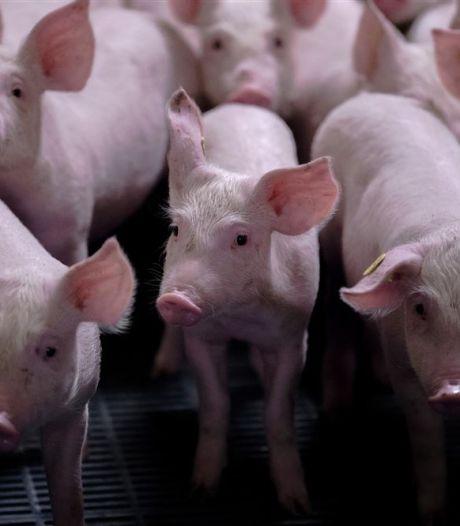 Sluiting stallen dreigt voor varkenshouder Slits uit Lieshout