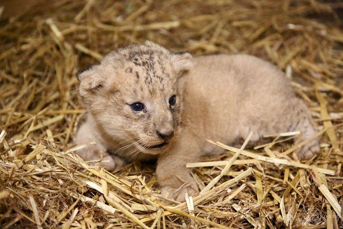 Het kleine leeuwenwelpje.