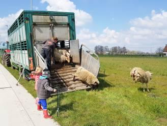 """Kudde schapen onderhoudt industriezone De Prijkels op milieuvriendelijke manier: """"Ze grazen hier alleen overdag"""""""