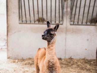 """ZIEN. Labiomista verwelkomt babylama Sam: """"En er zijn nog meer dieren drachtig"""""""