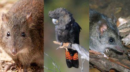 Van grootpootpotoroe tot buidelmuis: deze dieren zijn misschien uitgestorven door bosbranden in Australië