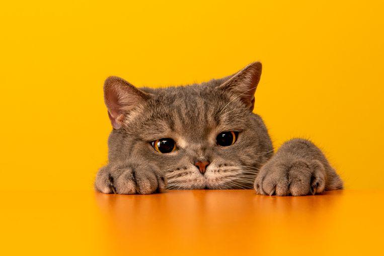 Wow: dít voorwerp treffen dierenartsen het vaakst aan in een kattenmaag Beeld Getty Images