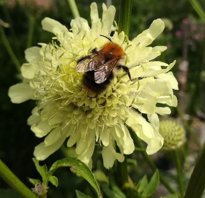 Hommel geniet van een zomerse lunch op de  Cephalaria Gigantea.